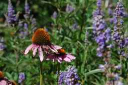 echinacea and lavender