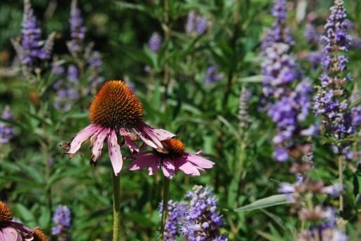 echinacea and lavender
